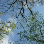 Silver Maple Canopy